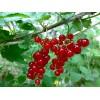 Grosella Roja/Red currant/красная смородина