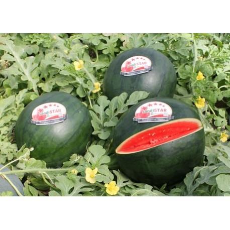 Sandía Sandistar / Watermelon Sandistar / Арбуз Сандистар (Av)